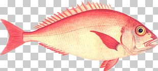 Northern Red Snapper Red Seabream Fish Products Perch PNG