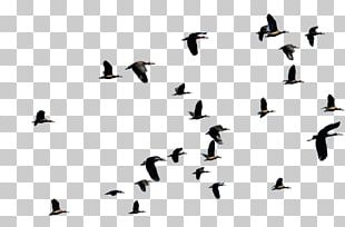 Bird Migration Flight Duck Animal Migration PNG