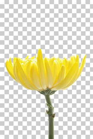 Chrysanthemum Indicum Petal Flower Chrysanthemum Tea Designer PNG