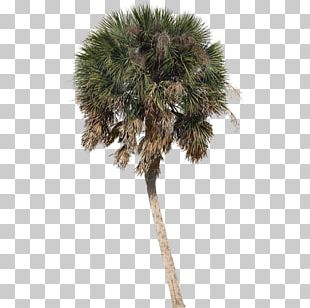 Asian Palmyra Palm Arecaceae Tree Sabal Palm Shade PNG