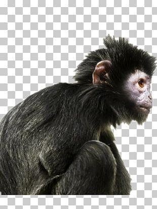 Ape Primate Human Evolution Gorilla PNG
