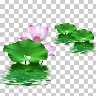 Leaf Nelumbo Nucifera Lotus Effect PNG