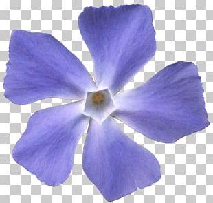 Viola Sororia Flower Violet Blue Purple PNG