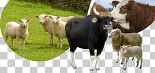 Cattle Sheep Horse Tame Animal Goat PNG