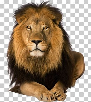 Lion Rosa Fort High School Great Prince Of The Forest PNG