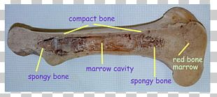 Bone Marrow Color Yellow Purple PNG