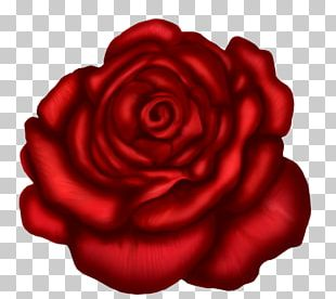 Rose Red Stock Photography PNG