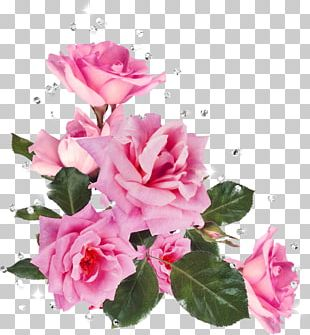 Still Life: Pink Roses Flower Garden Roses Stock Photography PNG