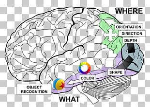Lobes Of The Brain Temporal Lobe Frontal Lobe Occipital Lobe PNG