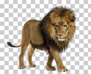 African Lion Cat The Lion Attitude Stock Photography Illustration PNG