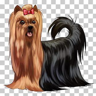 Yorkshire Terrier Australian Silky Terrier Companion Dog Biewer Terrier Dog Breed PNG