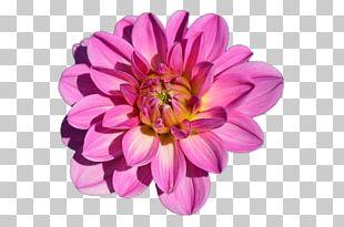 Flower Garden Dahlia PNG