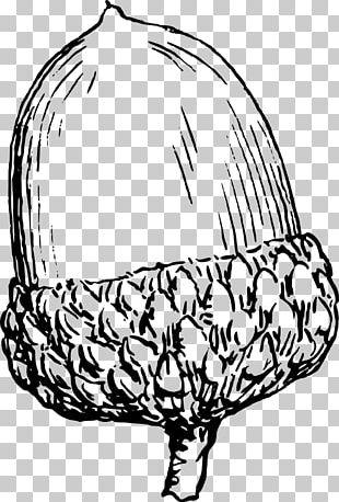 Drawing Acorn PNG