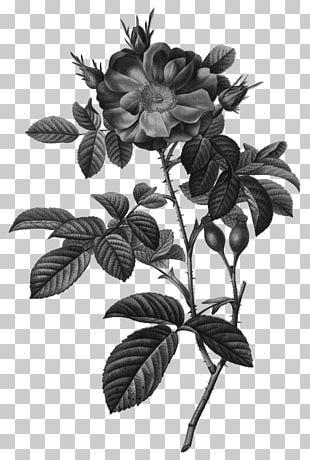 Cabbage Rose Damask Rose Botanical Illustration Botany PNG