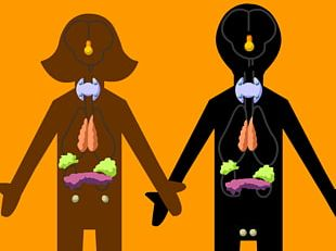 Endocrine System Human Body Excretory System Hormone Gland PNG