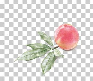 Drawing Watercolor Painting Peach Illustration PNG
