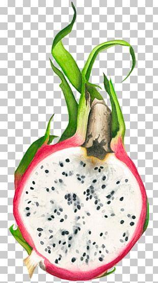 Pitaya Fruit Drawing Watercolor Painting PNG