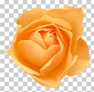 Flower Rose Morning Glory Petal PNG