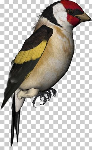Finch Bird Atlantic Canary Parrot Domestic Pigeon PNG