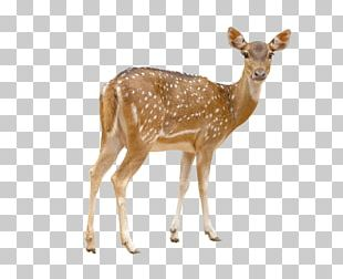 Red Deer Chital White-tailed Deer Stock Photography PNG