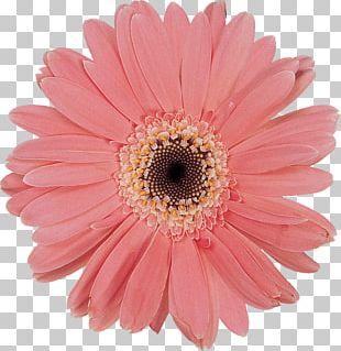 Daisy Family Cut Flowers Chrysanthemum Oxeye Daisy PNG
