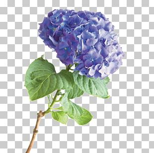 French Hydrangea Flower Stock Photography PNG