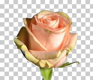 Garden Roses Cabbage Rose Floribunda Pink Cut Flowers PNG
