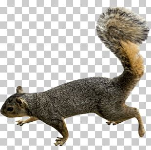 Squirrel Rodent PNG
