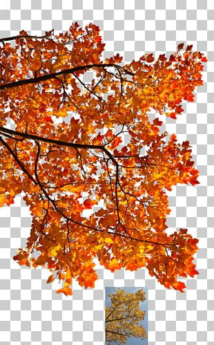 Autumn Leaf Color Tree Maple Branch PNG
