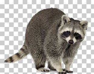 Raccoon Squirrel Trapping Pest Control Nuisance Wildlife Management PNG
