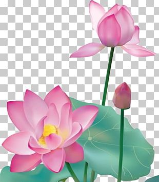 Nelumbo Nucifera Graphic Design PNG