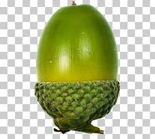 Acorn Oak Fruit PNG