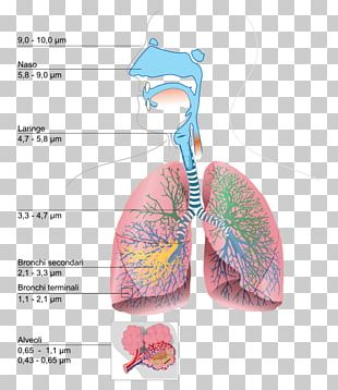 Respiratory System Lung Breathing Urdu Respiration PNG