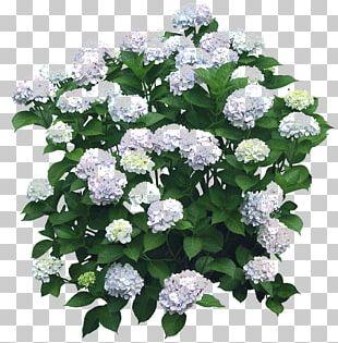 Flower Garden Shrub French Hydrangea Tree PNG