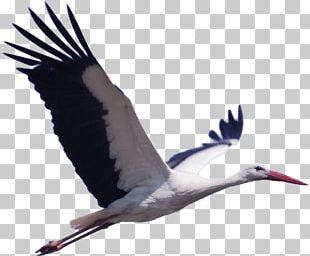 White Stork Bird Pixabay Animal Migration PNG