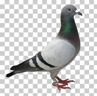 Racing Homer Columbidae Homing Pigeon Bird Desktop PNG