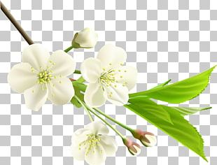 Flower White Branch PNG