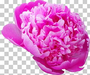 Flower Desktop Photography Moutan Peony PNG