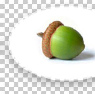 Acorn Oak Nut PNG