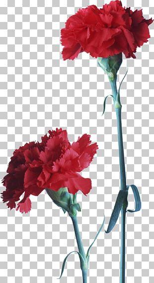 Carnation Flower Red Dianthus PNG