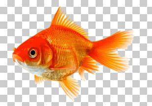 Comet Fantail Aquarium Fish PNG