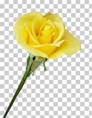 Garden Roses Beach Rose Centifolia Roses Yellow Flower PNG