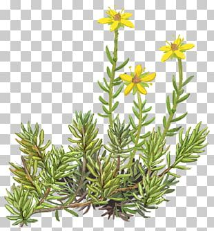 Pine Family Evergreen Subshrub PNG