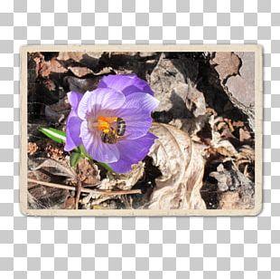 Violet Flower Family Violaceae PNG