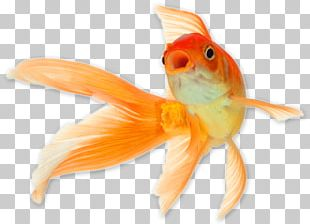 Comet Common Goldfish Shark Cat Reptile PNG