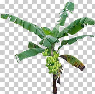 Tree Banana PNG