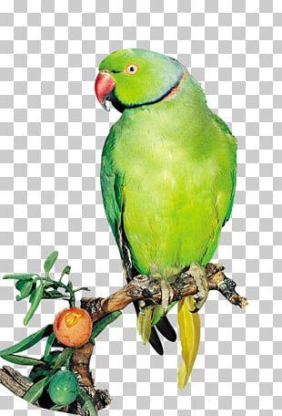 Amazon Parrot Bird True Parrot Computer File PNG