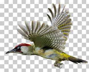 Woodpecker PNG
