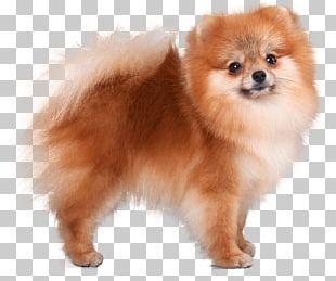 German Spitz Klein Pomeranian German Spitz Mittel Volpino Italiano Dog Breed PNG