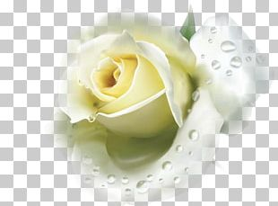 Blue Rose Flower White Red PNG